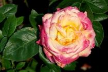 Rose - gelb-lila